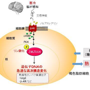 エピゲノム酵素がエピゲノムを修飾する脱メチル化酵素が、寒冷刺激時などに活性化されるメカニズムを解明。阿部さん、ロイハンさんの論文がNature Communicationsに2015年5月7日付オンライン版で発表されました