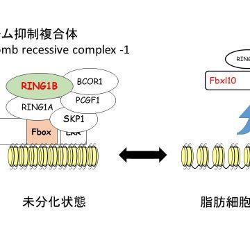 脂肪細胞分化を抑制する新規のポリコーム抑制複合体を解明